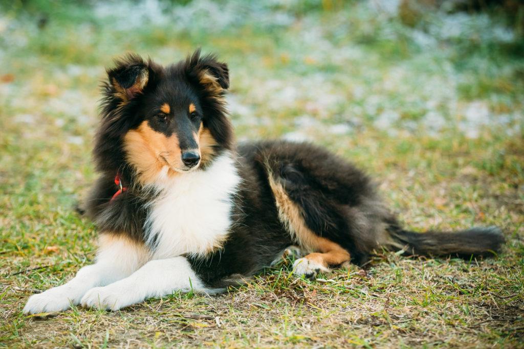 Young Shetland Sheepdog, Sheltie